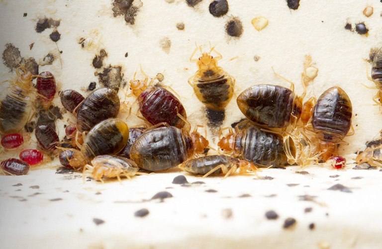 Bed Bugs Solutions